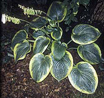 Hosta 'His Honor'