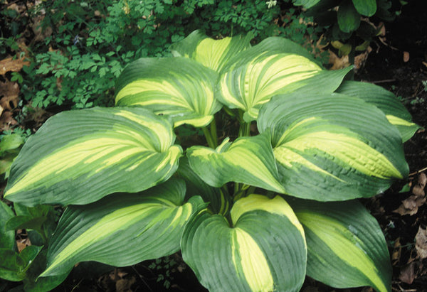 Hosta 'Hollywood Lights'