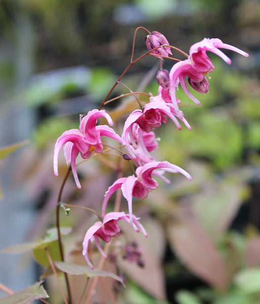 Epimedium 'Hot Lips'