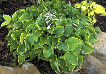 Hosta 'Illicit Affair'