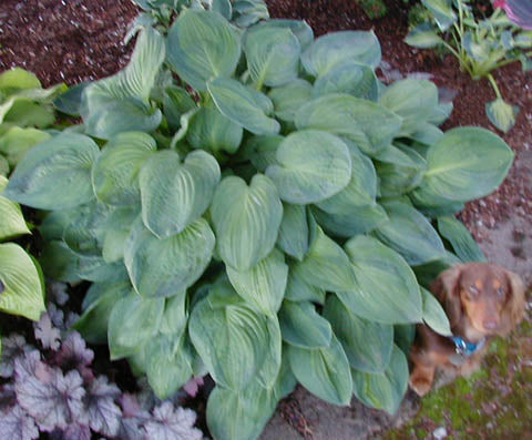 Hosta 'Julie Morss'