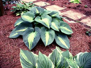 Hosta 'Lakeside Beach Captain'