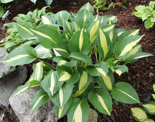 Hosta 'Lakeside Fruit Loops'