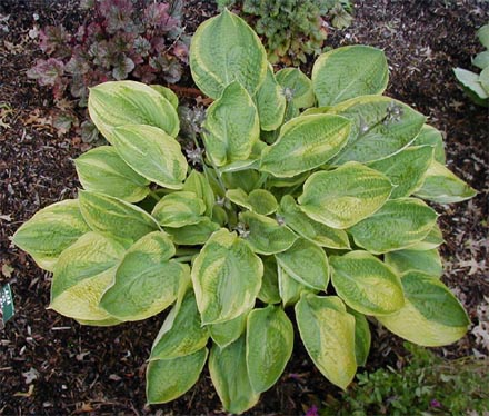 Hosta 'Laura and Darrell'