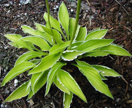 Hosta 'Lemon Frost'