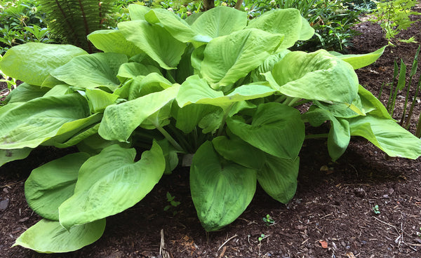 Hosta 'Lemon Meringue'