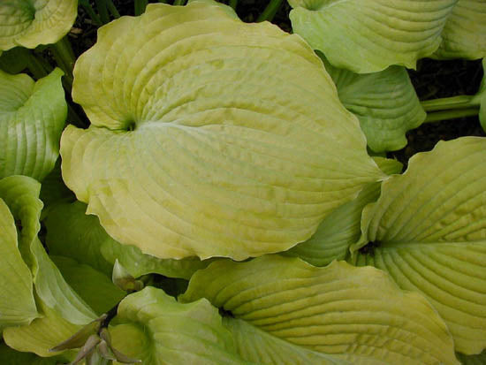 Hosta 'Lime Pie Crust'