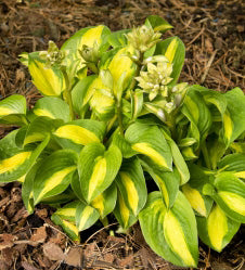 Hosta 'Little Darling'