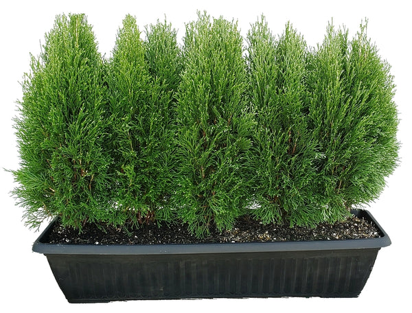 Thuja occidentalis 'Little Simon' (Eastern Arborvitae)