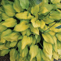 Hosta 'Monsoon'