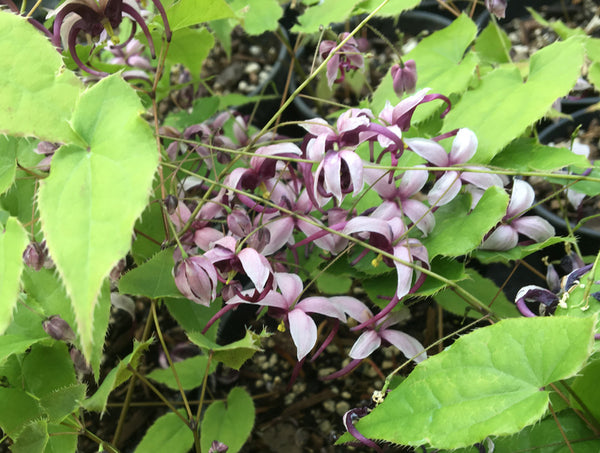 Epimedium acuminatum 'Night Mistress'