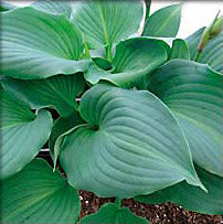 Hosta 'Night Life'