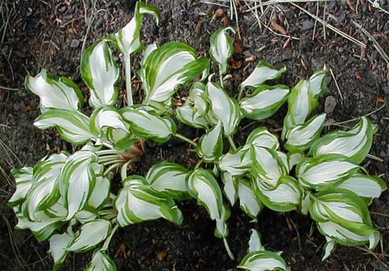 Hosta 'Northern Sunray'