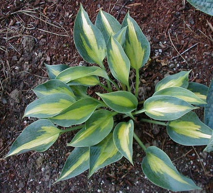 Hosta 'Olympic Sunrise'