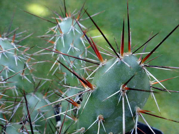 Opuntia x rutila [red/black spines]