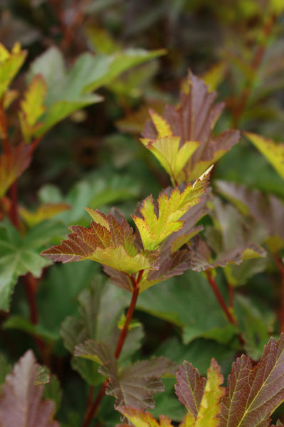 Physocarpus opulifolius 'Center Glow'