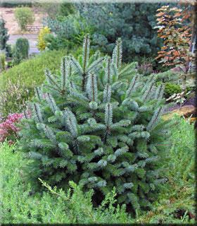 Picea sitchensis 'Papoose'?