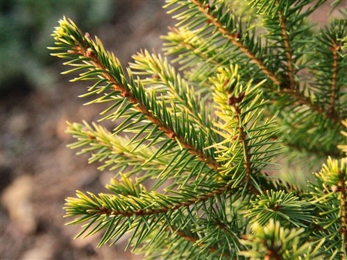 Picea abies 'Amber Flickers' (Amber Flickers Norway Spruce)
