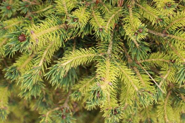 Picea abies 'Gold Dust' (Gold Dust Norway Spruce)