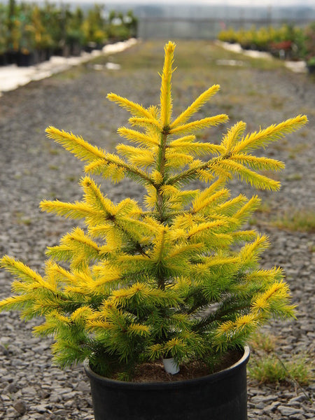 Picea abies 'Goldenrods'