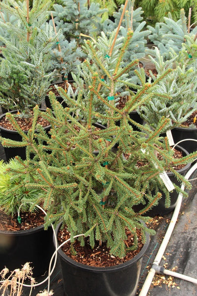 Picea abies 'Phylicoides'