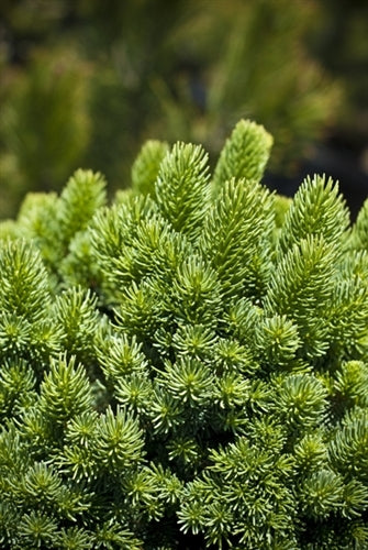 Picea abies 'Suncrest'