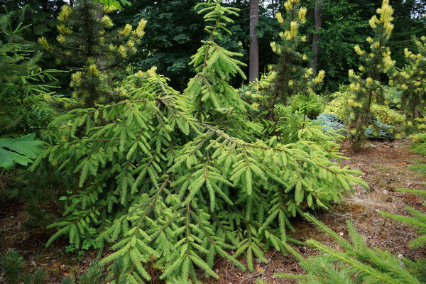 Picea abies 'Tawny Dream'