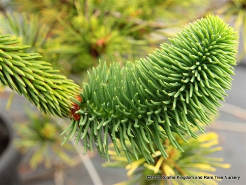Picea abies 'Virgata' (Virgata Norway Spruce)