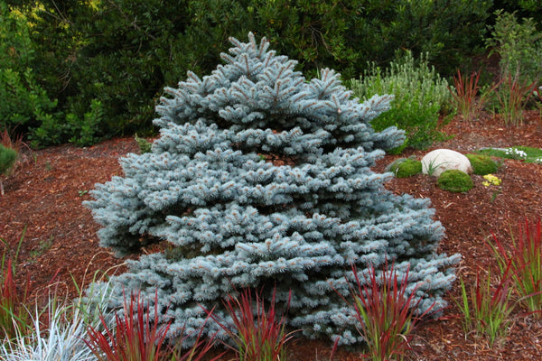 Picea pungens 'R. H. Montgomery'