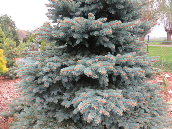 Picea pungens 'Wendy' (Wendy Colorado Spruce)