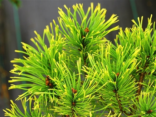 Pinus mugo 'Little Gold Star' (Little Gold Star Mugo Pine)