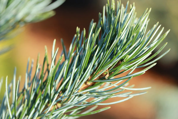 Pinus parviflora 'Cleary'
