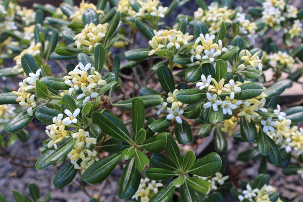 Pittosporum tobira 'Tall 'n Tough'