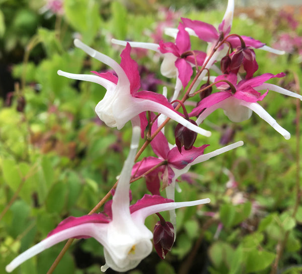 Epimedium grandiflorum 'Princess Susan'