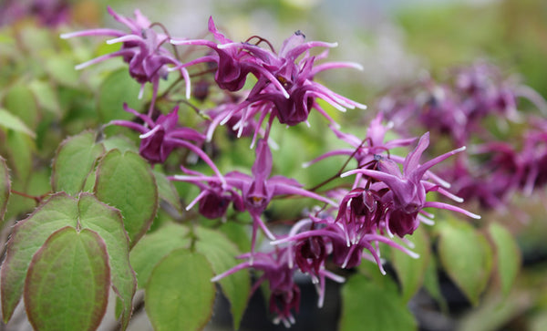 Epimedium grandiflorum 'Purple Prince'