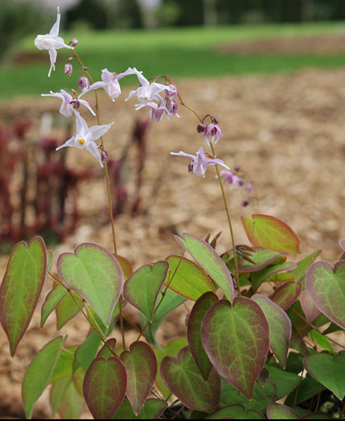 Epimedium x youngianum 'Royal Flush'