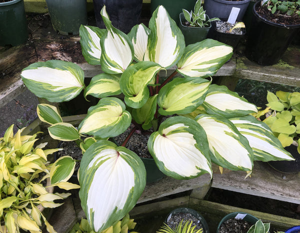 Hosta 'Raspberry Sundae'