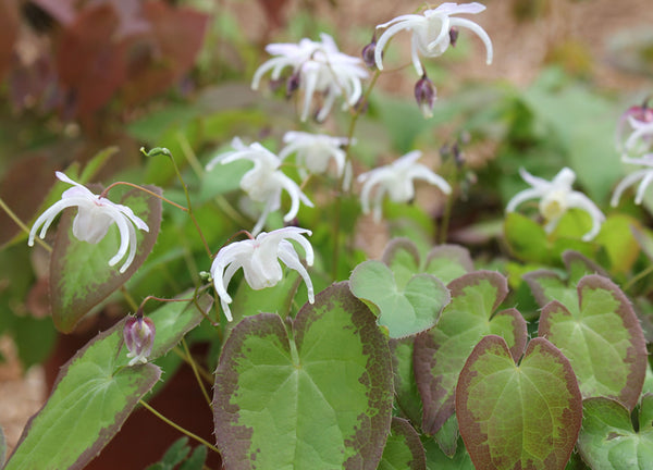 Epimedium grandiflorum 'Spring Wedding'