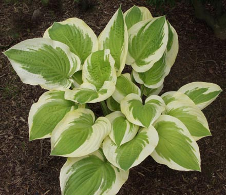 Hosta 'Sea Beacon'