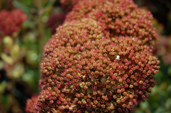 Sedum spectabile 'Indian Chief'
