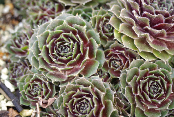 Sempervivum 'Fair Lady'