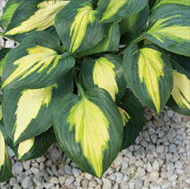 Hosta 'Smash Hit'