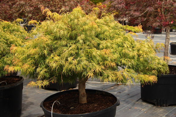 Acer palmatum 'Lemon Lime Lace'