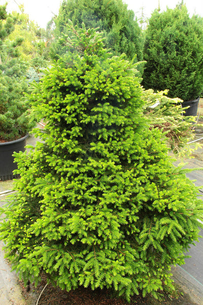 Picea orientalis 'Losely' (Losely Oriental Spruce)