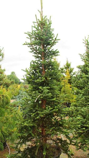 Abies squamata 'Flaky'