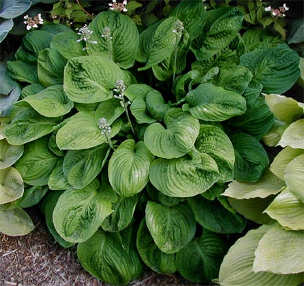 Hosta 'Spinach Patch'