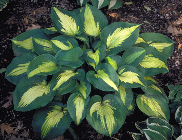 Hosta 'St. Paul'