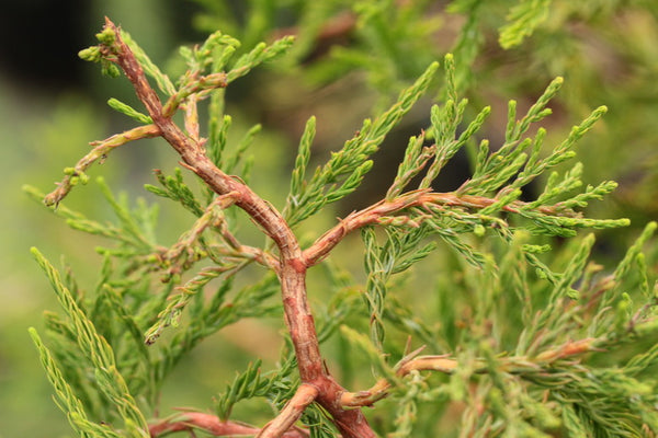 Taxodium distichum 'Twisted Logic'