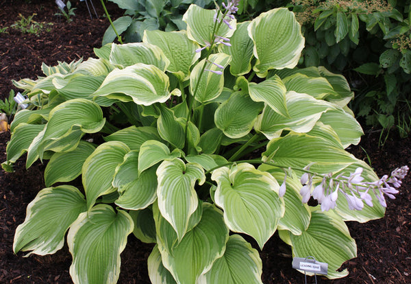 Hosta 'The Leading Edge'