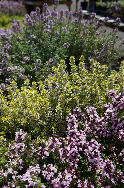Thymus citriodorus 'Archer's Gold'